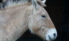 Przewalskis Pferd. Bildquelle: Pixabay