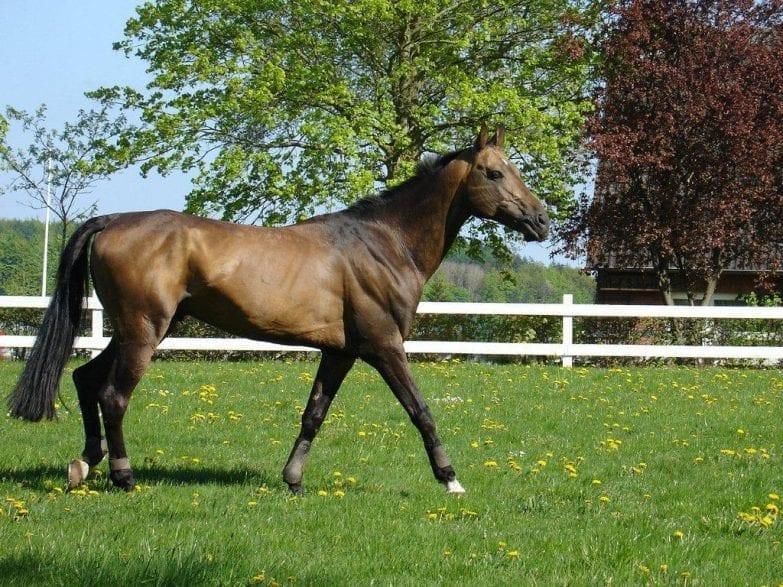 In seiner Heimat in Turkmenistan wird der Achal Tekkiner hauptsächlich für Pferderennen, hier zu Lande vor allem im Vielseitigkeitssport und im Distanzreiten, eingesetzt. Foto: privat