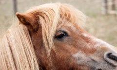 Symbolbild Pony (Foto: Pixabay)