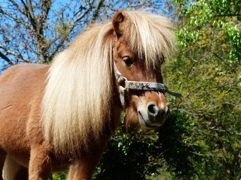 Kaum vorstellbar, dass diese kleinen Ponys als Grubenpferde im Bergbau eingesetzt wurden!  Symbolbild (Foto: Pixabay)