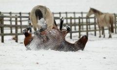 Pferde im Schnee Unterschiedliche Situationen Pferde im Schnee © www.sportfotos-lafrentz.de/Stefan Lafrentz
