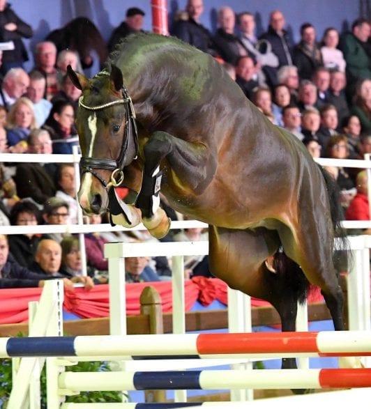 Der zweite Reservesieger der Oldenburger Körung von Casino Berlin wird bei der Böckmann Pferde GmbH in Lastrup-Hamstrup stationiert und ausgebildet. (Foto: Ulrike Beelitz)