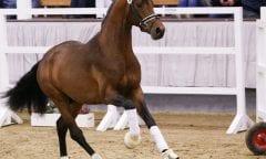 Dem Reservesieger der Hauptkörung des Westfälischen Pferdestammbuchs, Vaderland, wurde sein Körurteil aberkannt. (Foto: Facebook Hengststation Beckmann/ LL-Foto)