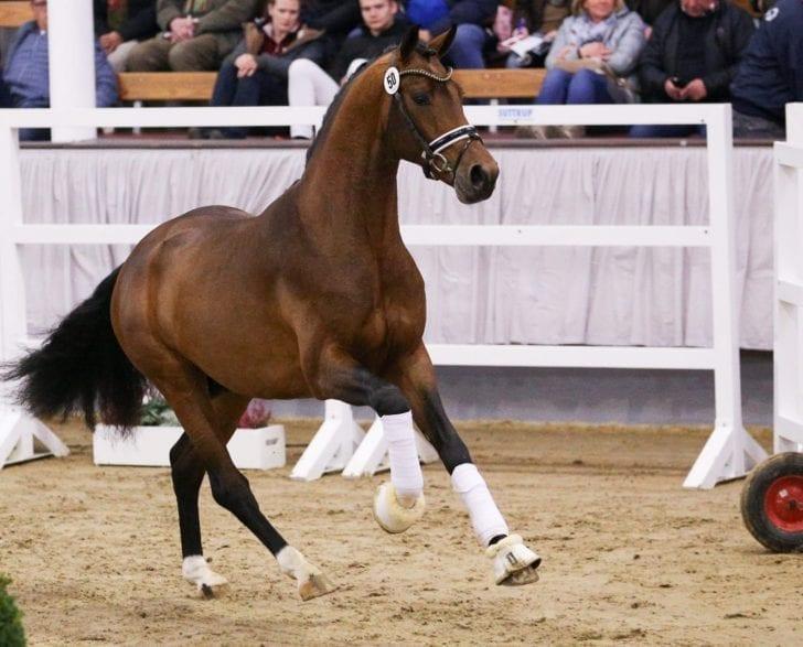 Dem Reservesieger der Hauptkörung des Westfälischen Pferdestammbuchs, Vaderland, wurde sein Körurteil zunächst aberkannt. (Foto: Facebook Hengststation Beckmann/ LL-Foto)