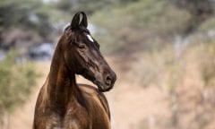 Marwari Pferd in Indien (Bild: Pferd&Reiter)