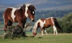 Dartmoor-Ponys (Bild:Pixabay)