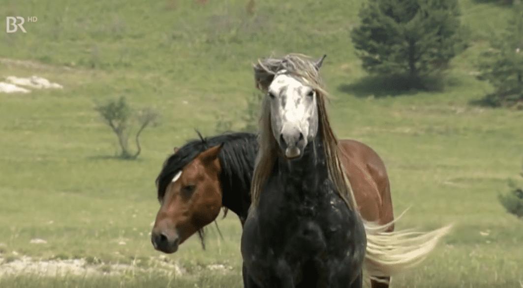 Der graue Leithengst einer Herde im Hochland von Bosnien-Herzegowina. Quelle: Video BR Dokumentation