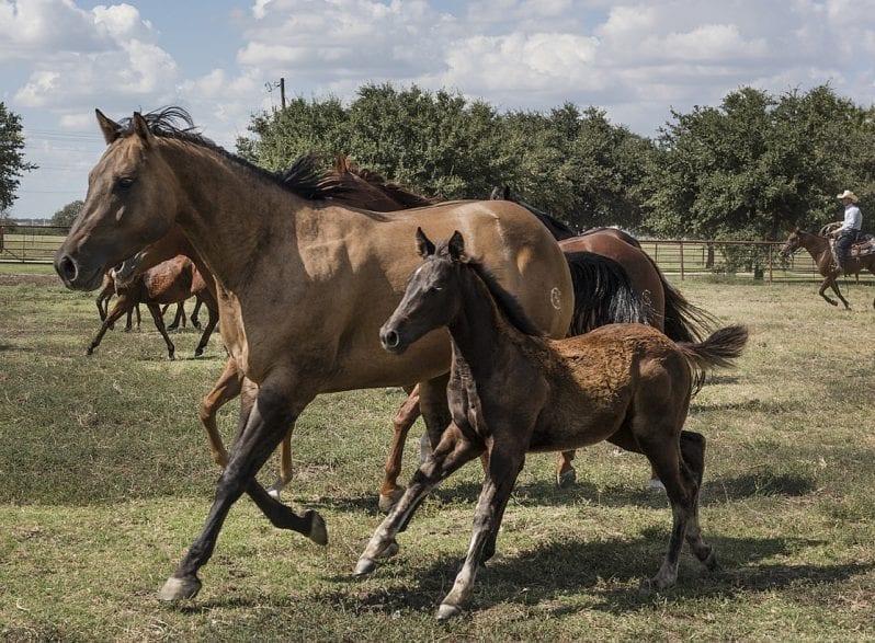 Symbolbild Quarter Horse  (Foto: pixabay)