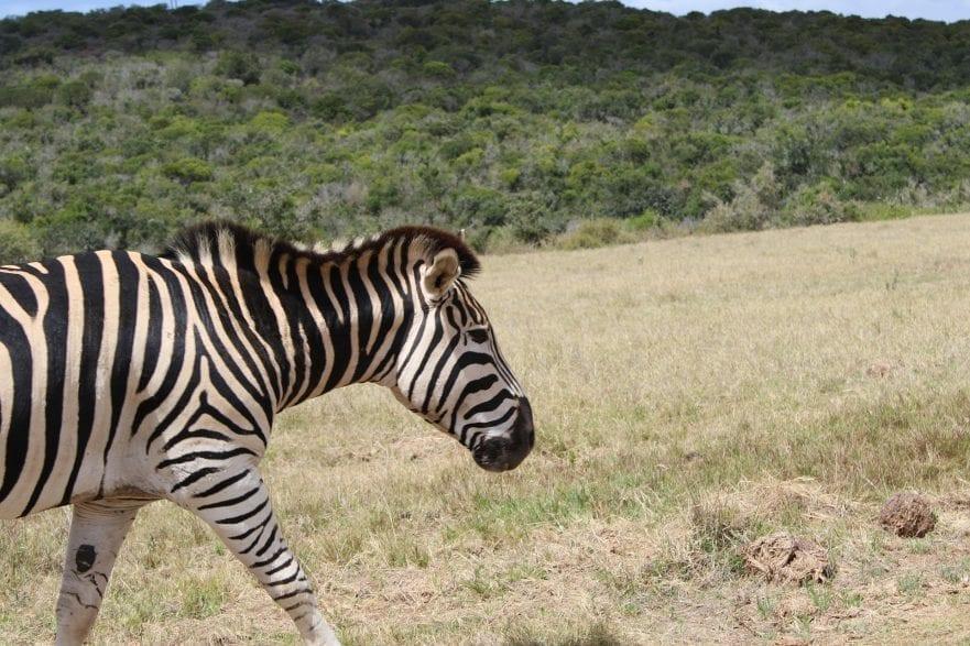 Vor rund 2,5 Millionen Jahren entwickelten sich in Afrika diese Verwandten unseres Hauspferdes. (pixabay)