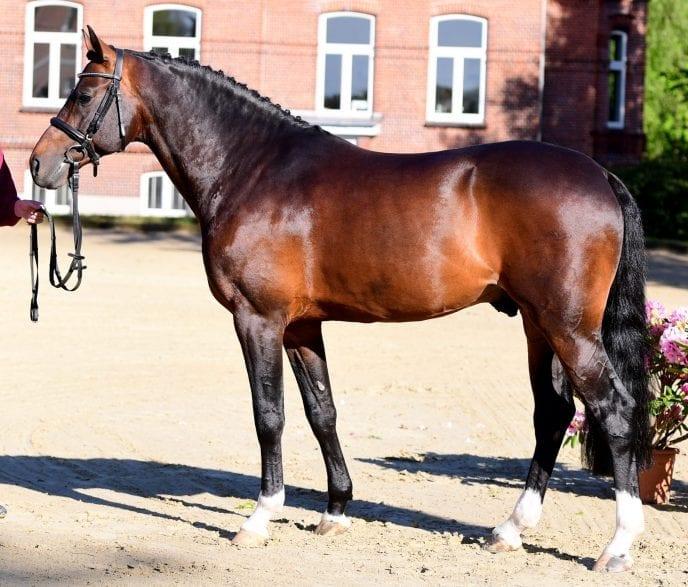 Hengst Dialo (Foto: Janne Bugtrup)