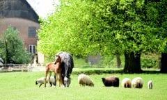 Sicherheit für Weidetiere trotz Wolfsrückkehr - darum geht es dem Holsteiner Verband bei der Podiumsdiskussion am Montag in der Fritz-Thiedemann-Halle. (Foto: Janne Bugtrup)