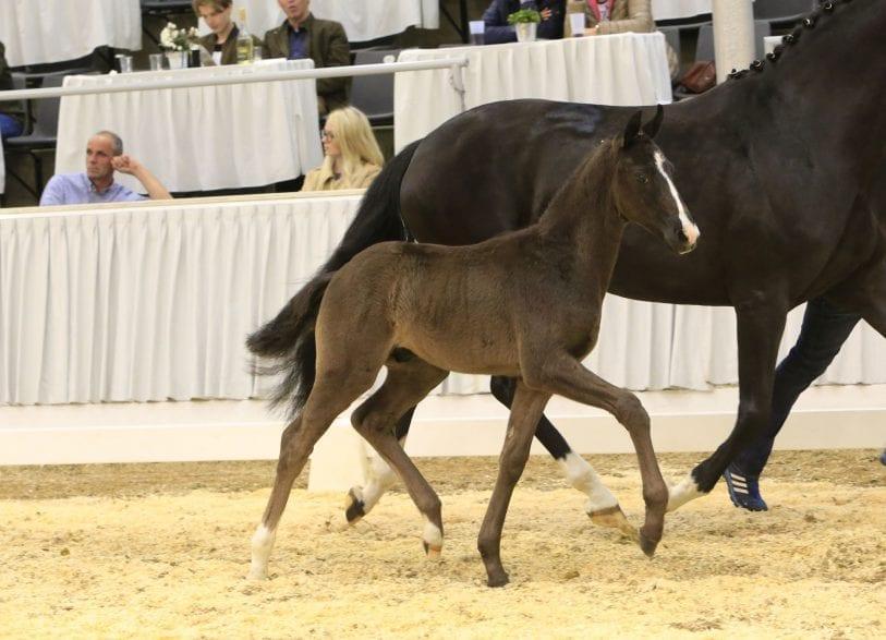 Preisspitze Fidus wurde für 21.000 Euro an eine Aufzüchterin aus Ritterhude versteigert. Foto: Hannoveraner Verband, Tammo Ernst