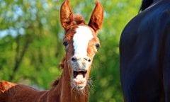 Das Lachen dieses Fohlens ist ansteckend. (Symbolbild: Pixabay)