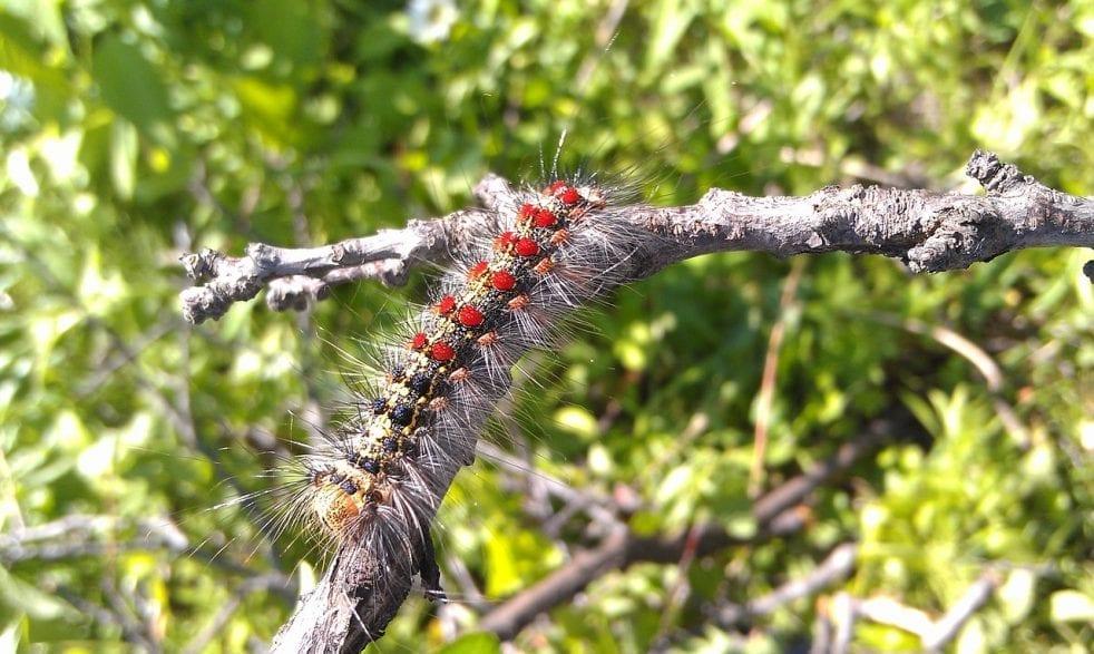 Schwammspinner (Lymantria dispar) (Foto:pixabay)