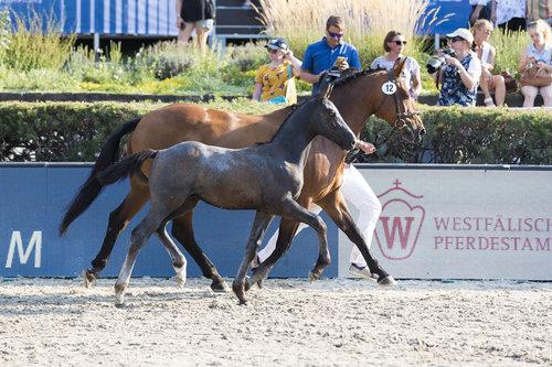 Das Hengstfohlen Chapeau Cleaque (Cornet Obolensky - Quick Star) wurde Preisspitze bei den Global Jumping Foals im letzten Jahr. Foto: Thomas Hellmann