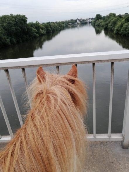 Ein letzter sehnsuchtsvoller Blick von Löwenherz auf den Main, bevor es wieder zurück auf die heimische Koppel nach Sindlingen ging.