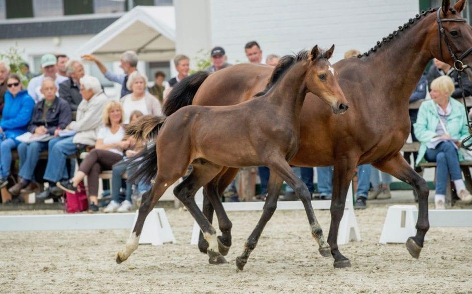 Hengstfohlen von Diego de Semilly-Chupamint aus dem Holsteiner Stamm 3615 aus dem Pferde wie Fein Cera und Derbysiegerin Zera hervorgingen. (Foto: Stefan Lafrentz)