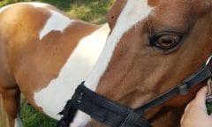 Polizei fängt Pferd auf der Hasencleverstraße ein