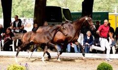 Der Champion der Hengstfohlen von Clarksville-Lorentin I im vergangenen Jahr begeisterte das Publikum durch Typ und Bewegungsstärke. (Foto: Bugtrup)