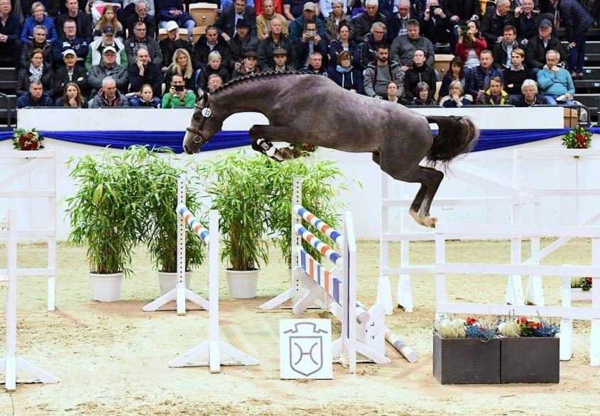 Sowohl der Siegerhengst als auch der Reservesieger stammen aus der Zucht von Manfred von Allwörden (Grönwohld). Ganz an die Spitze des Jahrgangs hat es Cahil v. Cornet Obolensky-Contender geschafft. ( Foto: Janne Bugtrup)