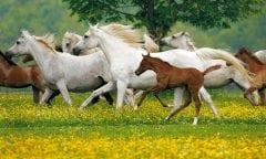 Die Silberne Herde Marbachs mit ihren Fohlen auf den großzügigen Weiden des Haupt- und Landgestüts Marbach (Foto: Archiv Boiselle)
