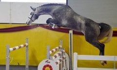 DSP-Championesse der dreij. Pferde 2018 Tibitaba B v. Cornettino Ask/Asti Spumante Züchter: ZG Wimmer, Arnstorf Besitzer: Hengststation Bachl, Postmünster (Foto: Daniela Bittner)