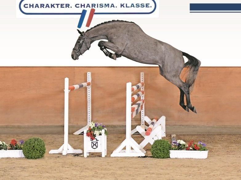 Quality Dream – der Dreijährige v. Quibrey-Clearway gehört zu den Verkaufskandidaten der Holsteiner Frühjahrsauktion (Foto Janne Bugtrup)