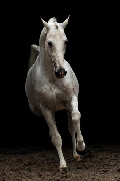 Cabrio Z - Das Eine-Million-Dollar- Grand Prix-Pferd Foto- Zangersheide