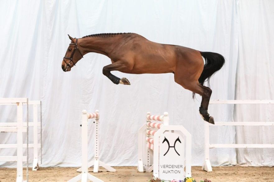 Der Kannan/Cloney-Sohn Kancloon knackte als erstes Pferd in der Online-Versteigerung bereits am Dienstag die Marke von 50.000 Euro. Foto: Ernst/Hannoveraner Verband