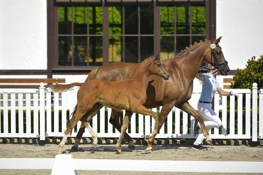 Qualitätsvolle Fohlen gibt es bei der Taunus-Talent Auction. Beispielhaft ist das Siegerfohlen der Fohlenschau 2019 in Kronberg, ein Stutfohlen von Destacado FRH-Florencio I. (Foto: Jan Reumann)