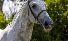 Alice III von Canturo - die zum Lot der 2. Björn Nagel Online-Auktion zählt - ist tragend von Caribis Z. (Foto: Stefan Lafrentz)