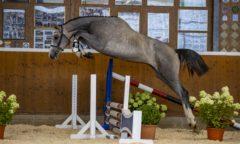 New York von Necofino zählt zum Springpferdelot der 2. Björn Nagel Online-Auktion. (Foto: Stefan Lafrentz)
