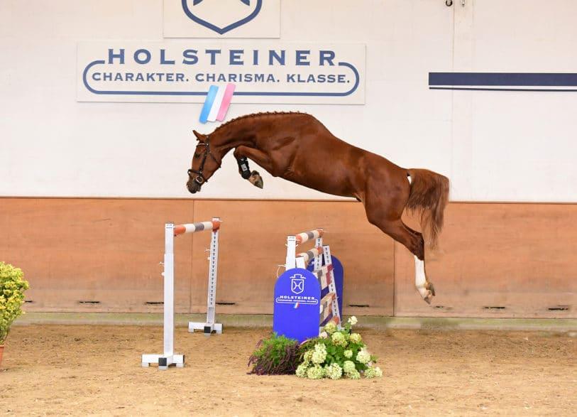 Die Auktionskandidaten der Holsteiner Elite-Auktion präsentieren sich erstmals am 11. Oktober. So auch die Katalognummer 129, der dreijährige Udo v. Uriko-Casall (Foto: Janne Bugtrup)