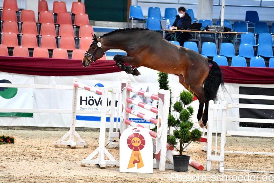 Ein Star im Lot ist der Siegerhengst Springen (Foto: Björn Schröder)