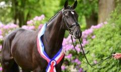 La Perla v. Casall-Contender stammt aus der Zucht von Katja Claußen-Brühe und trägt fortan den Titel der springbetonten Siegerstute. (Fotos: Janne Bugtrup)