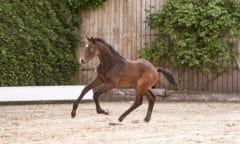Die Katalognummer 5 v. Clarimo-Casall trägt den passenden Namen Champion und entspringt einer Stutenfamilie mit zahlreichen international erfolgreichen Sportpferden. (Foto: Janne Bugtrup)