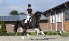 Fibolo bereichert das Lot der Auction No. 2 von Sportpferde Scholz - ein Pferd zum Losreiten. Foto: Julia Packeiser